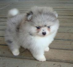 Marvelous Pomeranian Does Your Dog Measure Up and Does It Matter Characteristics. All About Pomeranian Does Your Dog Measure Up and Does It Matter Characteristics. Tiny Puppies, Cute Puppies, Cute Dogs, Cute Baby Animals, Animals And Pets, Funny Animals, Cute Pomeranian, Blue Merle Pomeranian, Baby Dogs