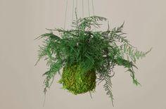 Summer Plants, Fall Plants, Green Plants, Hanging Plants, Indoor Plants, Japanese Plants, Traditional Japanese Art, Peat Moss, Perfect Plants