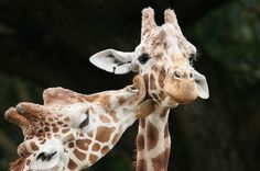 smooching giraffes !
