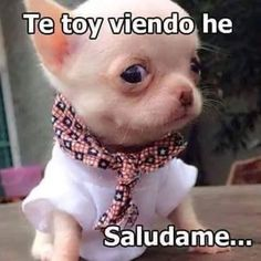Your kids are nice, BUT have you seen my chihuahua?Funny chihuahua T-Shirt Mexican Funny Memes, Funny Spanish Memes, Spanish Quotes, Cute Baby Animals, Animals And Pets, Funny Animals, Bulldogs, Chihuahua Puppies, Chihuahuas