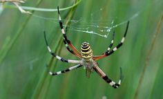Argiope bruennichi (Araña tigre, araña avispa, araña cestera)