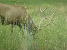 Elk - Bear Country USA - Rapid City, South Dakota.