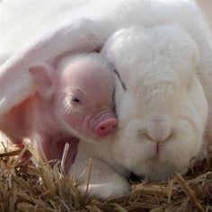 Moments Tendres de Chats, Chiens et autres Animaux qui se font des Câlins - Ici, un Lapin et un bébé Cochon