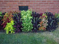 Post with 0 votes and 8753 views. Loving my border of coleus Garden Yard Ideas, Flower Garden Plans, Front Yard Landscaping Design, Lawn Design, Garden Help, Shade Garden, Porch Flowers, Garden Design Layout, Small Yard Landscaping