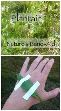 Plantain, Nature's Band-Aid ~ Foraging for plantain, more than just a weed! www.growforagecookferment.com