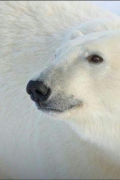 Hi Beautiful Polar Bear!