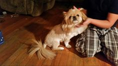 Pekingese Lion cut