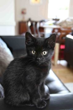 Black kitten at 8 weeks. Looks just like Yoda!!!
