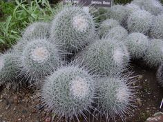 Mammillaria parkinsonii. Owleye Pincushion. Central Mexico native. Ball/clumping shape.