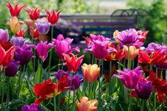 Tulipa Yonina (Lily-Flowered Tulip)
