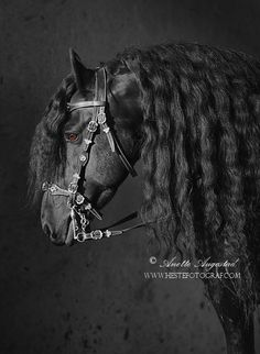 Friesian Beauty by Hestefotograf.deviantart.com on @DeviantArt