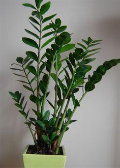 kwiaty doniczkowe, które lubią cień - zamiokulkas zamiolistny