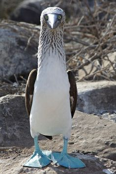 They have beautiful blue webbed feet, weigh between 3 and 4 pounds and can live to be more than 17 years old. Intense looking birds! Booby Bird, Animals And Pets, Cute Animals, Blue Footed Booby, Kinds Of Birds, Galapagos Islands, Big Bird, Beautiful Birds, Beautiful Things
