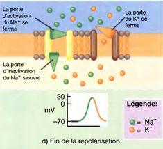 La sortie de K+ restaure le potentiel de repos. Les canaux de fuite et les pompes Na+/K+ qui maintiennent une faible concentration de Na+ à l'intérieur de la cellule ne sont pas indiqués dans cette figure où, en revanche, les nombres respectifs de Na+ qui entrent et de K+ qui sortent pendant un seul potentiel d'action ont été majorés
