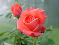 Tropicana rose - I also have this rose in my garden and it always has the most beautiful blooms.