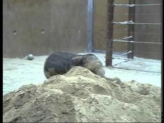 Happy little baby elephant plays in the sand. Pure joy:)