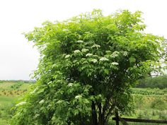 Herbs, foraging, cooking with herbs, herbal medicine, herb crafting and wildcrafting information from our herb magazine. Elder Flower, Herbal Medicine, Permaculture, Pointers, Berry, Harvest, Herbalism, Patterns, Flowers
