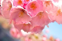 Photographer Harry Prott takes on the largest collection of cherry blossoms in the nation! Branch Brook Park, Newark NJ Travel Tourism