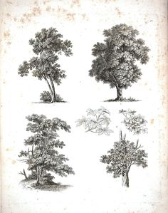Botanical - Black and White - Tree sketches 7