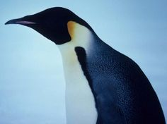 Penguins are torpedo-shaped, flightless birds that live in the southern regions of the Earth.