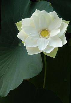 White Lotus Flower IMGP1385 by Bahman Farzad, via Flickr