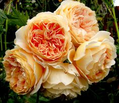 Crown Princess Margareta Rose (Climbing Variety). A superb variety with large, neatly-formed rosettes of a lovely apricot-orange. It has a strong, fruity fragrance of the tea rose type. This rose is tough, vigorous and healthy. Short climber, ideal for walls, arches, rose pillars and trellis.