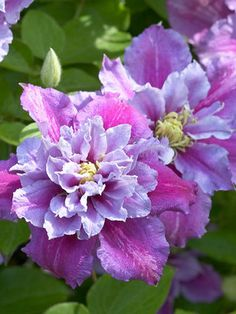 "Clematis Piilu. First flush of blooms appear as 3-4"" double or semi-double light pink flowers with rose bars followed by single flowers of similar coloring. Blooms May through July and September. Shorter in length, this variety is perfect for growing in containers but equally content when grown in the ground or clambering up a trellis. $14.95"