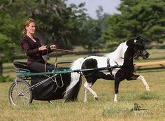 I could totally get into this! What a sweetly darling, immensely elegant little white and black pony. Horse And Buggy, Horse Love, Beautiful Horses, Animals Beautiful, Adorable Animals, Pull Wagon, Pony Breeds, Tiny Horses, Mini Pony