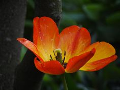 Red Tulipe # Monet's garden# Giverny#France