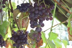 grapes in the hen house