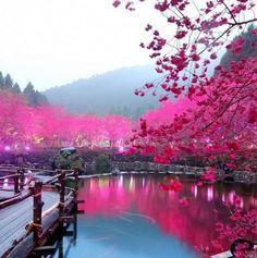 Kirschblüten am Lake Sakura, Japan