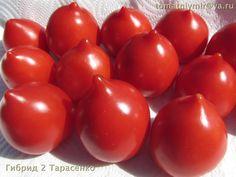 Гибрид № 2. Это сорт  выведен Ф. М. Тарасенко. Высокорослый, урожайный, с очень большими кистями, продолжительным плодоношением, сорт выращен в 2014 году в Волгоградской области.