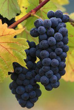 Fruits-grapes