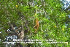 Mehr als nur Affenliebe - Orang Utans und die Natur auf auf Borneo erleben! #Malaysia #Reise #Natur