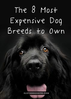The 8 Most Expensive Dog Breeds To Own http://theilovedogssite.com/the-8-most-expensive-dog-breeds-to-own/