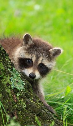 •♥• Животный мир •♥• Енот (Raccoon) •♥•                              …