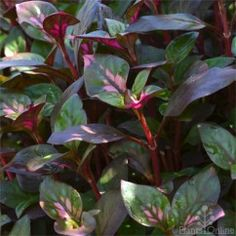 Alternanthera Purple slpash Rich colour right through the year for frost-free locations. Fast-growing ground cover, the deep green-purple leaves splashed with pink look particularly impressive in mass plantings. #foliage#purple