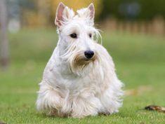 Chien Scottish Terrier