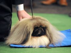 Westminster Kennel Club Dog Show Best in Show winner, Malachy the Pekingese