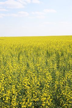 What's the Difference Between Canola and Rapeseed? — Word of Mouth Rapeseed Oil, Canola Field, Yellow Fields, Down On The Farm, Best Oils, Word Of Mouth, Light Texture