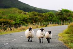 Ireland's sheep by Inez on Flickr (via http://elephantine.typepad.com/elephantine/2011/04/daydreaming.html)