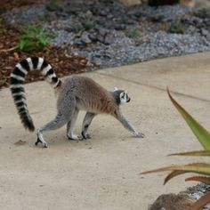 Beware... lemurs crossing the path!   This is what you'll experience when you walk through the new Lemur Island exhibit, which opens this Saturday at Melbourne Zoo.