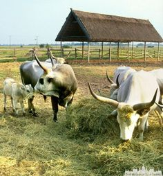 The Hungarian puszta - trip to Hortobagy - Horse program - Hortobágy - Best Budapest Tour Guides - All tours are PRIVATE! Tour guide picks you up, you give pick up place and time at booking Cook Books, Our World, Walking Tour, Heritage Site, Tour Guide, Cows, Cattle, Hungary, Romania
