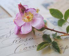 Rosa Californica on postcards
