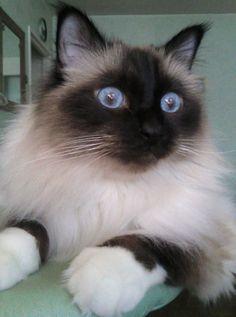 Cat - Birman - Fox-Trot