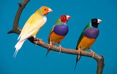 Gouldian finches have extremely colourful plumage with either red, black, or - rarely - yellow-coloured heads. They live in open, subtropical woodland, where they nest in loose colonies, feeding mainly on grass seeds