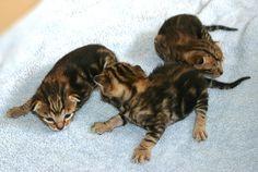 Sokoke kittens