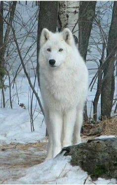 Beautiful and awesome LIFE STOP KILLING WOLF'S