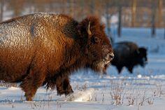 American Bison, Large Animals, Create, Buffalo, Easy, Canada, Water Buffalo