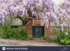 Flowering violet Chinese Wisteria (Wisteria sinensis) vines growing on a fence in front of a house, La Creuse, Limousin, France Stock Photo
